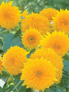 Teddy Bear Sunflower at Cooksgarden.com at $3.95 for 70 seeds.