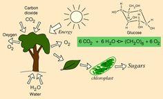 6CO2 + 6H2O = (CH2O)6 + 6O2 = Fotosíntesis.