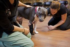 """Danielle Hetmanski, Crtified Orthotist, right, helps """"Debbie"""", a one-year-old blue nose pitbull, gets used to her new prosthesis at ABC Prosthetics & Orthotics in Orlando on January 29, 2014."""