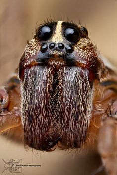 """""""The wolf spider is an aggressive hunter, but is generally shy and will run away when disturbed.it's a dead spider now! Spider Face, Wolf Spider, Types Of Insects, Bugs And Insects, Foto Macro, Spiders And Snakes, Jumping Spider, Macro And Micro, A Bug's Life"""
