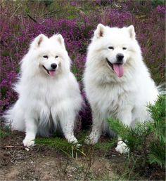 Samoyed Huskies like ours growing up!