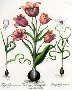 III. Tulipe sauvage, fleur fermée, I. Tulipe de jardin multiflore, II. Tulipe sauvage, fleur ouverte (L'Herbier de Basilius Besler)