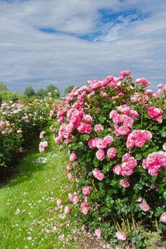 Hardhof Pfrengle Juli 2016_15 Roses, Plants, Farm Shop, Pictures, Pink, Rose, Flora, Plant