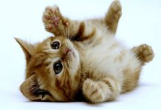 The latest cat pictures, cat rescues, cat breeds, cat news, cute kittens and kitty cats. Cute Kittens, Kittens And Puppies, Cats And Kittens, Kittens Playing, Kittens Meowing, Persian Kittens, Cute Baby Animals, Animals And Pets, Kitten Wallpaper