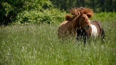 _MRL1141.jpg - Two Icelandic yearlings playing.