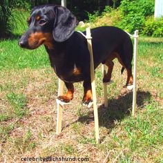 Dachshund stilts :-)