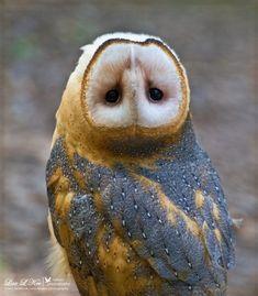 Barn Owl - Поиск в Google