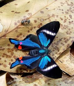 The Periander Metalmark (Rhetus periander) butterfly    Native to Central America and South America, ranging from Mexico to Brazil and Argentina.    photo credit: © Marcio Negrao
