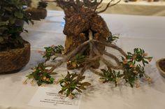 https://flic.kr/p/N4qbQ3 | Euphorbia decaryi x milii - CSSA 2015.JPG
