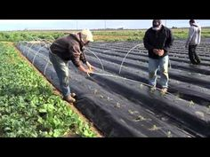 Planting tomatoes through a woven plastic mulch and covered with fabric from frost protection. Tunnel Greenhouse, Farm Layout, Water Management, Mini Farm, Drip Irrigation, Tomato Plants, Farm Gardens, Organic Farming, Gardens