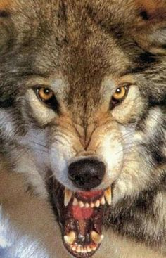 WOLVES...DO NOT MESS WITH MY GOD, FAMILY, COUNTRY, OR FREEDOMS...