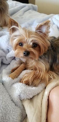 Yorkie Dogs, Yorkies, Dogs And Puppies, Yorshire Terrier, Silky Terrier, Mans Best Friend, Best Friends, Gif Animé, Binky
