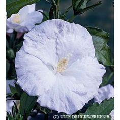 87 Best Hardy Hibiscus Rose Of Sharon Images In 2018 Hibiscus