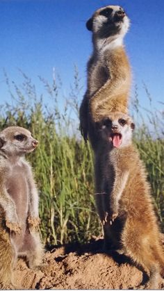 Meerkats - so cute! Look at the little one yawning as the other one looks on! ♥