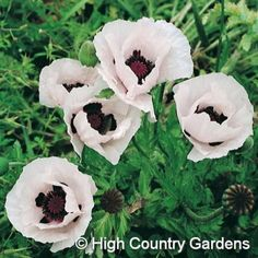 Papaver orientale Royal Wedding | Royal Wedding Oriental Poppy | Low Water Plants, Eco Friendly Landscapes | High Country Gardens