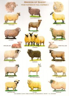 source and artist: Paul Chapman Old Bell Farm Billingford Norfolk UK. breeds of sheep :) Raising Farm Animals, Animals And Pets, Cute Animals, Pig Breeds, Sheep Breeds, Sheep Farm, Sheep And Lamb, Livestock Judging, Animal Science