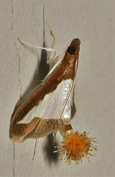 Female Flower-tail or Cucumber Moth (Diaphania indica, Cra…   Flickr