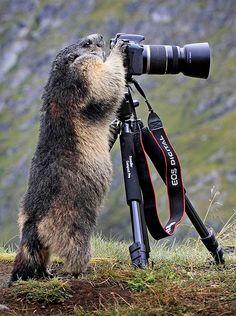 Marmota sobe e olha pela lente de uma câmera