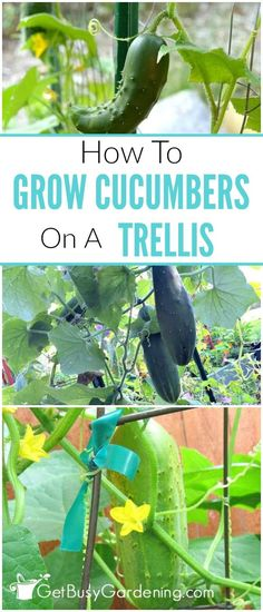 I love growing cucumbers on a trellis! I looks great in the garden, and the cucumbers are much healthier too! Here's how to grow cucumbers vertically, along with growing tips, what types of cucumbers to grow vertically, and cucumber trellis ideas. Verticle Vegetable Garden, Indoor Vegetable Gardening, Organic Gardening, Gardening Tips, Herb Garden, Vegetable Ideas, Lake Garden, Sustainable Gardening, Urban Gardening