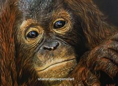 "Coloured Pencils After 40: ""Renungan"" for Orangutan Protection Foundation"