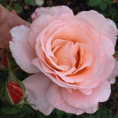 Ageing with grace #Rose Fragrant 'Sight Saver'