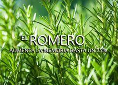 Los+beneficios+del+romero+en+la+memoria+a+largo+plazo Herbal Remedies, Health Remedies, Natural Remedies, Eco Garden, Medicinal Plants, Herbalism, Healthy Living, Medicine, Health Fitness