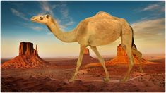 In the terrain and climate of American Southwest posed a daunting challenge, so a solution was found: Buy camels - retro pin Camp Verde, Red Ghost, Navy Store, Mexican American War, Urban Legends, Camels, Old West, Old Things, Challenges