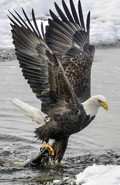 Excellent Images birds of prey eagle Thoughts As a wildlife regarding animals wedding photographer, the key matter many criticize in relation to would be t The Eagles, Bald Eagles, Eagles Band, Eagle Images, Eagle Pictures, White Head Eagle, Black Eagle, Beautiful Birds, Animals Beautiful