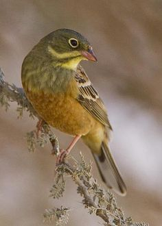 Ortolan Bunting (Emberiza hortulana). It is a native of most European countries and western Asia. by Eyal Bartov