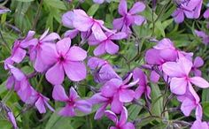Phlox divaricata 'Eco Texas Purple' - Wald-Phlox