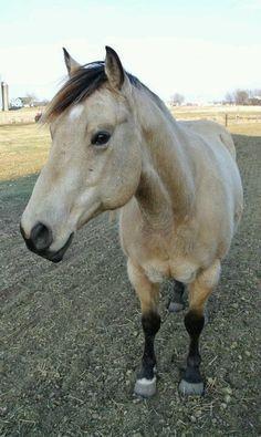 Some lucky soul's beautiful buckskin quarter horse....Buck!