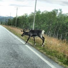 Finland/Norway border. Streets are full of these reindeers! <3   Flickr – Condivisione di foto!