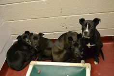 Atlanta, GA: URGENT! MOM & 4 PUPPIES NEED FOSTER /RESCUE NOW! We are 4 puppies that have been living outside with our mom. We would sleep on a sofa outside. We have been on the streets since we were babies and now we have all been brought here. Even our mom is here too. We are really scared because we have not had much human interaction. Can anyone FOSTER or RESCUE us? Email rescue@fultonanimalservices.com