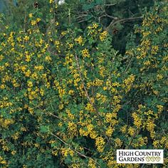 Ribes aureum Gwen's Buffalo   clove scented currant. zones 4-8. 5'-6' tall, 5' to 6' wide. Full sun, morning sun & afternoon shade. Clay, sandy or average soil