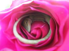 """This lucky Texan family was greeted with an adorable surprise when Cmycherrytree's daughter Angel picked a rose for her mother; inside was a sleeping Green anole lizard. The Carolina or green anole is found in the south-eastern part of North America. Baby Lizards, Small Lizards, Reptiles Et Amphibiens, Little Lizard, Rose Photos, Comfy Bed, Cutest Thing Ever, Take A Nap, How To Make Bed"