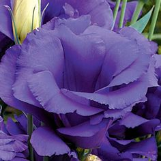 Cinderella Blue Lisianthus Flower Seeds: Double-flowered blooms open in big clusters at the top of long, sturdy stems. My Flower, Purple Flowers, Beautiful Flowers, Cut Flowers, Exotic Flowers, Purple Haze, Shades Of Purple, Deep Purple, Pot Plante