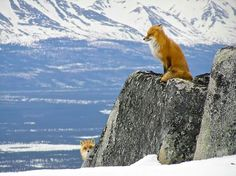 Red Foxes at Lake Clark National Park & Preserve