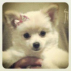 Coco bear the Pomeranian! Teacup Pomeranian, Pomeranian Puppy, My Baby Girl, Baby Girls, Doggies, Dogs And Puppies, Diamond Clothing, Pomeranians, Diamond Are A Girls Best Friend