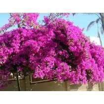 100 Sementes De Planta Primavera Roxa - Com Garantia