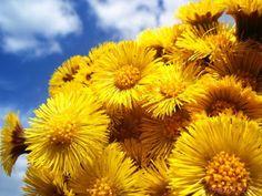 Podbel za kašalj www. Dandelion, Flowers, Plants, Dandelions, Flora, Plant, Royal Icing Flowers, Flower, Florals