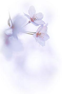 Sakura by naoki nomura