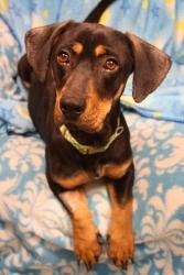 Gonzo is an adoptable Basset Hound Dog in Waterloo, NY. Age : 8 Months Sex : Male Weight : 35 Pounds Breed :Bassett Hound/RottweilerMix Likes : Playing, Kids, Cats, Other Dogs,Cuddling! Being with ...
