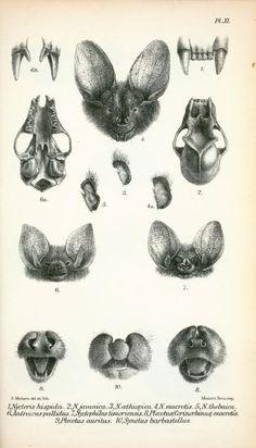 Scientific pencil bat anatomical illustration