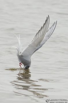 arctic terns diving - Google Search