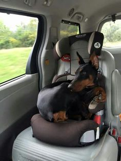 The Doberman Pinscher is among the most popular breed of dogs in the world. Known for its intelligence and loyalty, the Pinscher is both a police- favorite Chien Dobermann, I Love Dogs, Cute Dogs, Black And Tan Terrier, Doberman Pinscher Dog, Doberman Puppies, Doberman Love, Black Doberman, Education Canine
