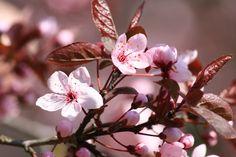 Robust und langlebig zugleich. Wenn der Boden, in dem der Zierpflaumenbaum steht, möglichst lock...