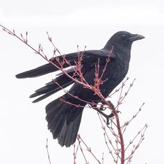 "June Hunter (@junehunterimages) on Instagram: ""Black and red - morning crow perched on the tippy top of the coral bark maple."""