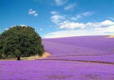 Lavender fields at Becker Vineyards in Fredericksburg,  Tx.