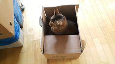 내 고양이 그리고 일상: 아비 : 고양이 아비시니안의 궁댕이만 걸치면 다 니꺼냐?