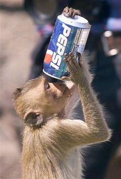 A thirsty monkey chugs a Pepsi during the annual Monkey Party in Thailand.